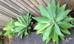 AGAVE PLANTS FOR SALE - I have five large Agave plants