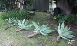 I have various size Agaves. $40 for the big ones shown