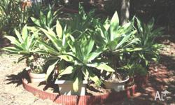AGAVE various sizes potted or unpotted $30 & $50 Please