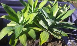 Agaves , Agaves and more Agaves , I have plenty of