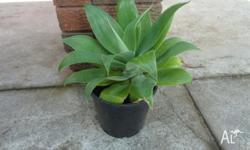 I have 12 agave plants for sale @ $10.00 each (see
