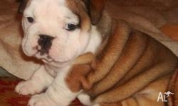 We have Three Cute English Bulldog Puppies for free