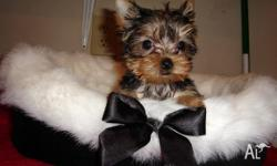 AKC registered Yorkie puppy for re-homing Female.