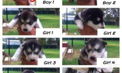 Alaskan Malamute Puppies For Sale ****Ready