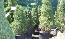 Albertina Conica compact conifer grows into conical