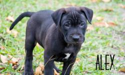 ALEX STAFFY X MALE BLACK 9 WEEKS OLD' $300 TO ADOPT