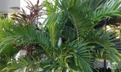 I have 13 x Alexander palms for sale varying from 1 to