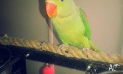 13 week old female alexandrine parrot for sale plus her