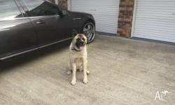 I m selling American Akita female two years old very