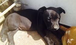Blue/Black American x English Staffy Avalibile Now