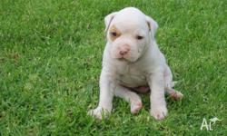 AMERICAN BULLDOG PUPPIES FOR SALE BY REGISTERED
