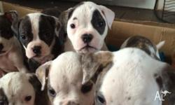 American bulldog puppies no papers but you can view