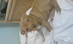 Four American terrier x puppies for sale. Have had