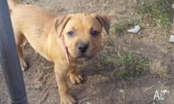 **American staffy** READY NOW puppies will come-