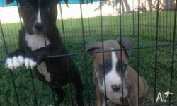 2 purebred female american staffy pups for sale. both