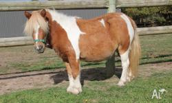 Quiet mare 5 yr old aprox 8.3h (88cm) . excellent with