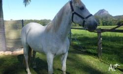 AMIGO Spanish Andalusian Gelding 15.3 Rising 14yrs