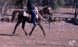 Anglo arabian mare, 3.5yrs old, great for kids.NEG: she