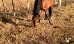 6 year old Arab mare bay with tiny bit of white 14.1hh