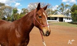 ASH gelding chestnut 7 years old 15.1hh Easy to catch