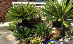Cycads assorted sizes in pots prices from $30 to $450