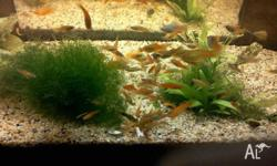 I have 1cm Assorted Platy and Swordtail for sale at 10