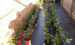 *******SPECIAL...ALL STOCK REDUCED TO CLEAR, Potted
