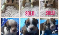 For sale Aussie Bulldogs $1500 All puppies come wormed,