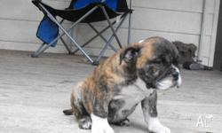AWESOME MALE AUSSIE BULLDOG PUPS REGISTERED WITH