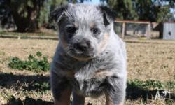 Pure bred Australian Cattle dogs for sale. All are blue