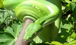 2007 Adult Male Australian Green Tree Python Beautiful