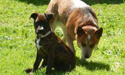 Inca is a beautiful little staffy x approx 4mths old.