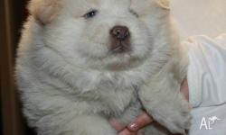 Awesome Home Raised Chow Chow puppies for sale.this