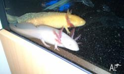 We Have Two Female Axolotls For Sale. One White With