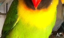 Hello, I have a baby Black Mask Lovebird green in