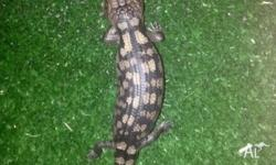 We have baby blotched blue tongue lizards for sale for