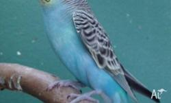 Baby budgie about 5 weeks old. Similar to photo but has