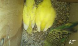 Assorted colours baby budgies available soon... Great