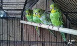 I have 3 green baby budgies for sale. They have been