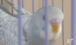 I have blue�white or grey�white budgies available. They