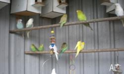 VERY LIVELY YOUNG BABY BUDGIES. COLOURS FROM WHITE,