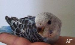 Hello, I have 2 x stunning baby blue budgies perfect