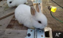 Ready to go 2 male baby rabbits $20 Will make excellent