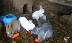 DWARF X RABBITS, 9 weeks old rabbits = $20, 6 week old