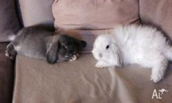 Beautiful babie bunnies for sale dwarf lop 10 weeks