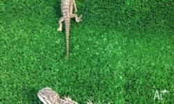 We have baby central bearded dragons for sale that are