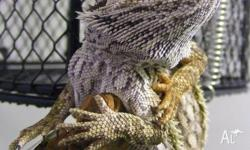 We have a range of Central Bearded Dragons available