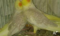 I have 2 beautiful baby cockatiels. 6 weeks old Ready