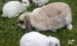 6 Week old Dwarf Lop Bunnies For Sale Colours include