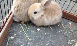 Beautiful BABY DWARF LOP KITS Nearly 8 weeks old and